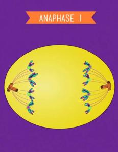 001 - anaphase I